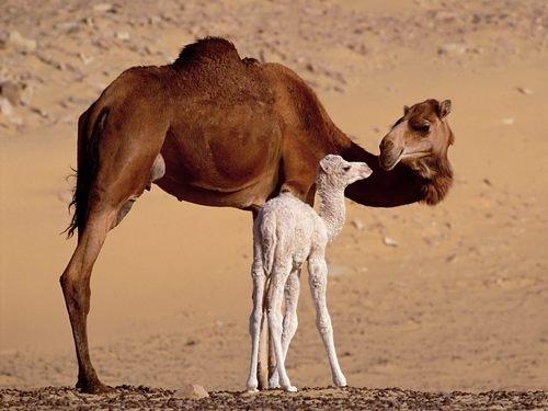 Camella amb la seva cria