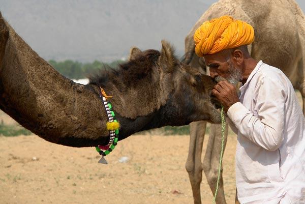 Chameau en Inde