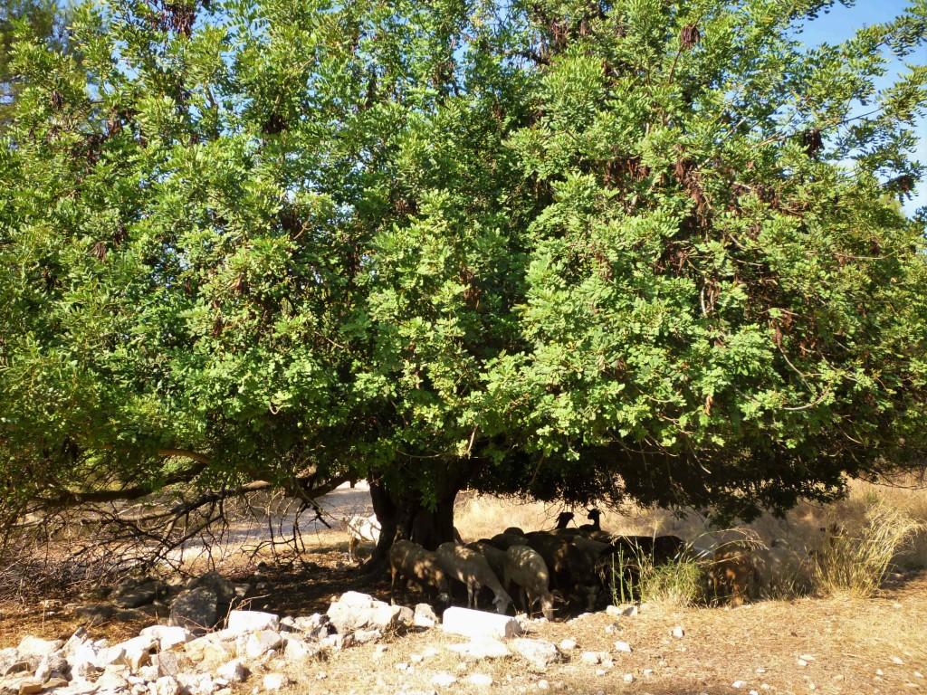 Vall de Vernissa -A l'ombra del garrofer