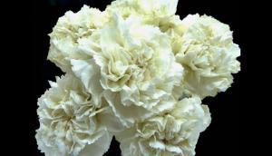 Clavells blancs