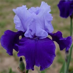 Iris proudtradition