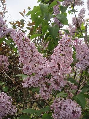 Lilà -syringa vularis20 (2)