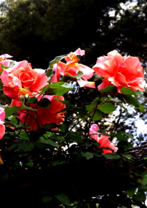 Roses 013